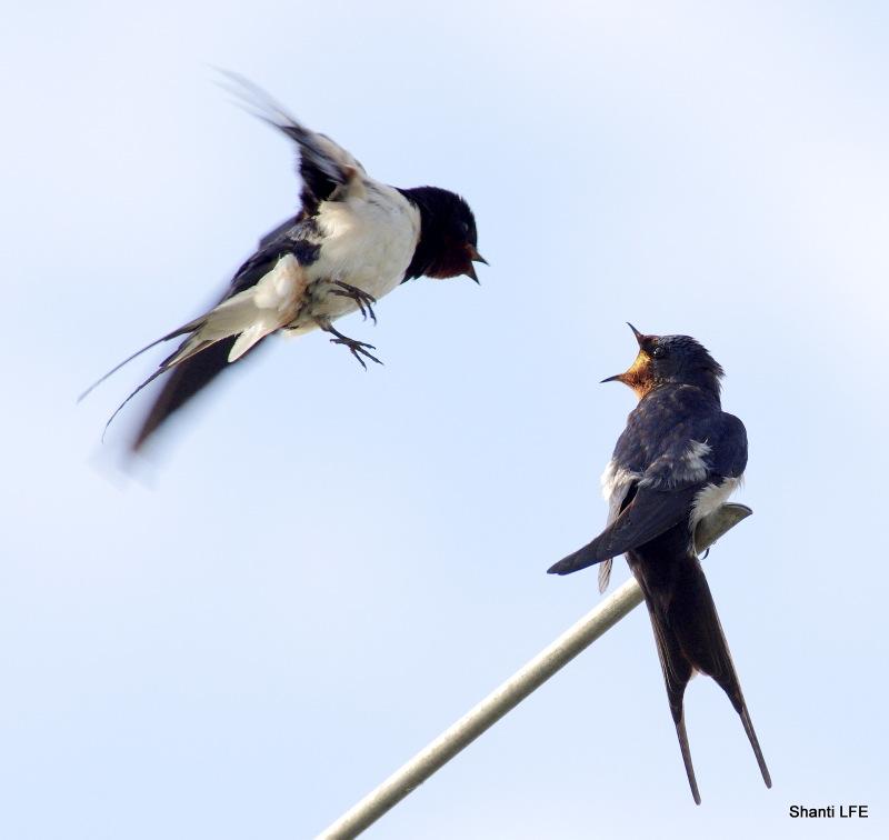 Swallow-talk-1