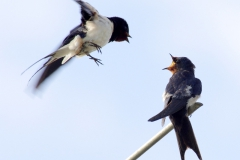 Swallow-talk-1